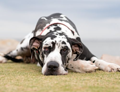 Gastric Dilatation Volvulus — 8 Facts Dog Owners Need to Know